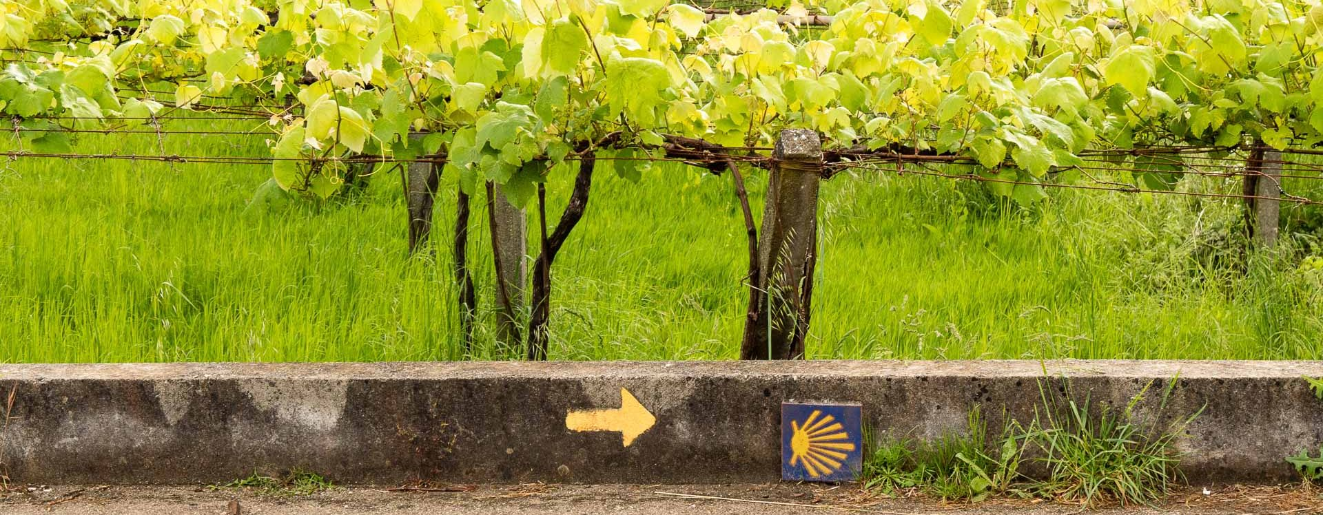 E-Velo Reisen entlang des Jakobweges - die Weinreben des Vinho Verde