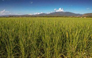 Thailand Reise mit dem E-Bike - Reisfeld am Wegesrand